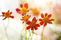 Small red cosmos flower. - PhotoDune Item for Sale