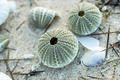 Remains of urchin on the beach - PhotoDune Item for Sale