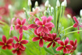 Red and pink of Rangoon creeper flower. - PhotoDune Item for Sale