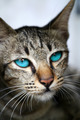 Blue eyes of Bengal cat. - PhotoDune Item for Sale