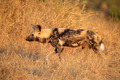 African wild dog - PhotoDune Item for Sale