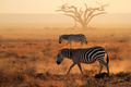 Plains zebras in dust - PhotoDune Item for Sale