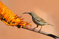 Scarlet-chested sunbird - PhotoDune Item for Sale