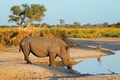 White rhinoceros drinking - PhotoDune Item for Sale