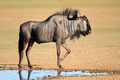 Blue wildebeest at waterhole - PhotoDune Item for Sale