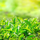 Close up of tea leaves. Tea plantations in India - PhotoDune Item for Sale