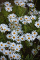 Blooming Camomile flowers at flowerbed - PhotoDune Item for Sale