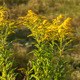 Small Yellow Flower Bush At Summer Sunset - VideoHive Item for Sale