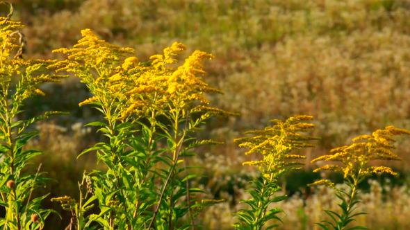 Small Yellow Flower Bush At Summer Sunset
