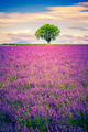 lavender at sunset - PhotoDune Item for Sale