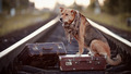 The red dog sits on a suitcase on rails - PhotoDune Item for Sale