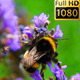 Lavender With Bees Pack Of 4 Scenes - VideoHive Item for Sale