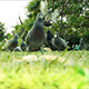 Pigeon In The Park - VideoHive Item for Sale