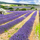 Lavender field. - PhotoDune Item for Sale