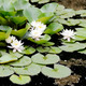 white flowers of water lilies - PhotoDune Item for Sale