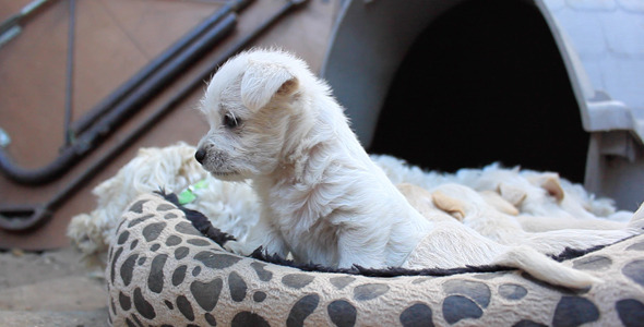 Chihuahua Poodle Mix Puppy Plays with Mom