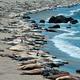 Seal in Big Sur - PhotoDune Item for Sale
