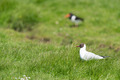 black-headed gull in field - PhotoDune Item for Sale