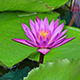 Lotus In Fish Ponds - VideoHive Item for Sale