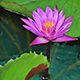 Lotus In Fish Ponds 2 - VideoHive Item for Sale