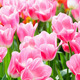 Beautiful pink tulips closeup. - PhotoDune Item for Sale