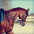 Portrait of a sports red horse. - PhotoDune Item for Sale