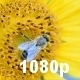 Honey Bee on a Sunflower - VideoHive Item for Sale