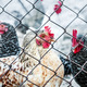 Chickens on poultry farm - PhotoDune Item for Sale