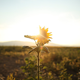 Sunflower in the Sunset 1 - VideoHive Item for Sale