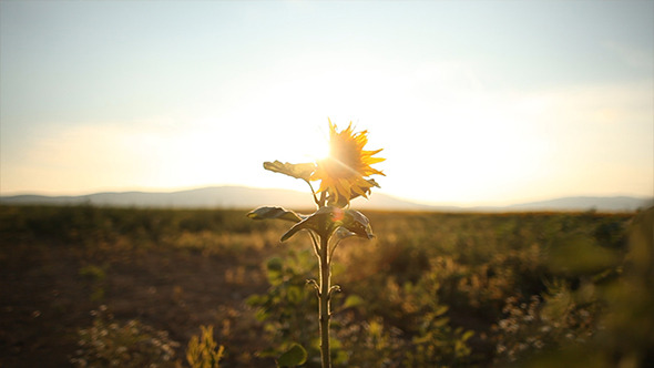 Sunflower in the Sunset 1