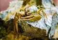 Crayfish On Stone - PhotoDune Item for Sale