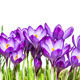 Purple Crocus Flowers - PhotoDune Item for Sale