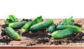 freshly picked cucumbers on the table isolated - PhotoDune Item for Sale