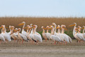 pelicans in the Danube Delta - PhotoDune Item for Sale