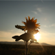 Sunflower in the Sunset 3 - VideoHive Item for Sale