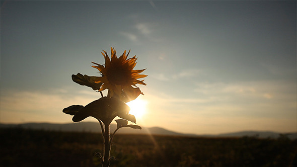 Sunflower in the Sunset 3