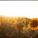Sunflower in the Sunset 4 - VideoHive Item for Sale