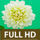 Dahlia Flower Blossoming - VideoHive Item for Sale