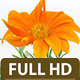 Gerbera Flower Blossoming - VideoHive Item for Sale
