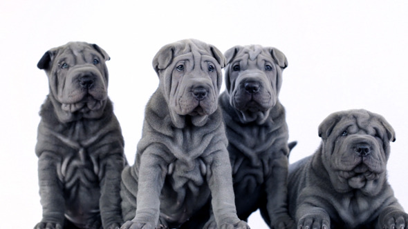 Four Shar Pei Pups Sitting in the Studio
