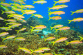 School of Yellowfin goatfish - PhotoDune Item for Sale