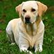 Labrador-retriever-04