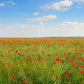 poppies on field - PhotoDune Item for Sale