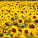 Background As A Field Of Sunflowers - VideoHive Item for Sale