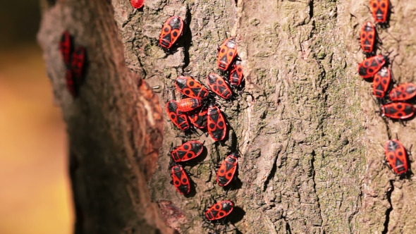 Firebugs on a Tree Trunk
