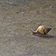 Small Snail Slow Walking - VideoHive Item for Sale