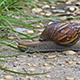 Giant Afican Snail 1 - VideoHive Item for Sale