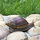 Giant Afican Snail 2 - VideoHive Item for Sale