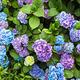 Hydrangea bush - PhotoDune Item for Sale