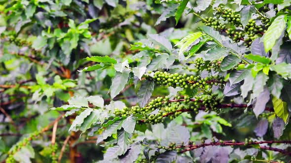 Download Coffee Beans Raw Plantation nulled download